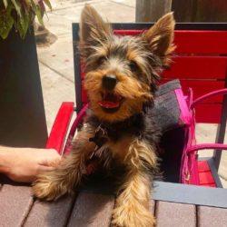 A dog enjoys some mozzarella sticks on Roots Pizza's dog friendly patio in Ravenswood