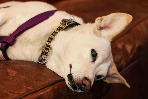 A Ravenswood pooch sporting an Empirical Brewery dog collar